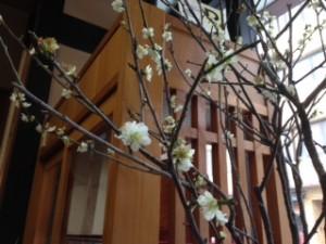 天たつ本店の梅の枝も花満開です