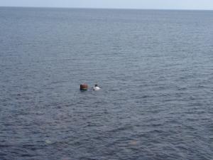 三国安島では海女さんと男海女さんが海に潜り、汐雲丹の原料バフンウニをとります